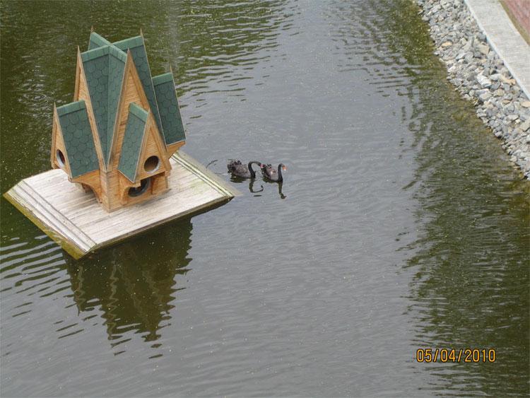Гомельский парк-пруд-черные лебеди