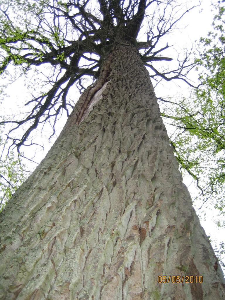 Беловежская пуща: древний дуб