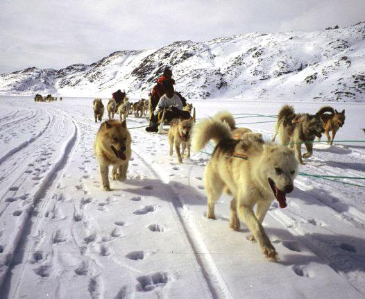 Покататься на собачьих упряжках в Скандинавии
